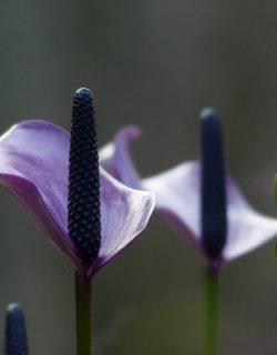 spathiphyllum-100789_960_720